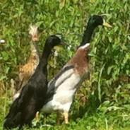 Des canards coureurs indiens